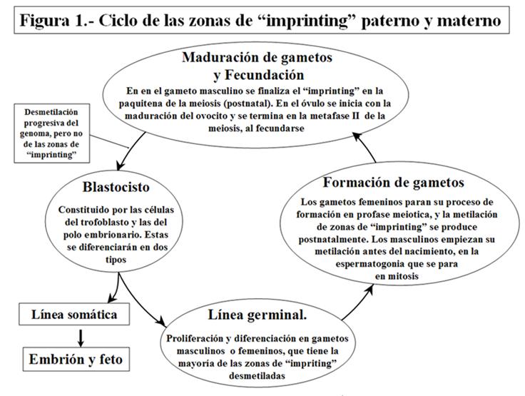 Ciclo de las zonas de imprinting paterno y materno