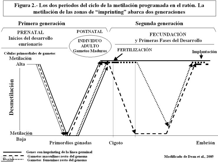 Figura 2.- Los dos periodos del ciclo de la metilación programada en el ratón. La metilación de las zonas de imprinting abarca dos generaciones
